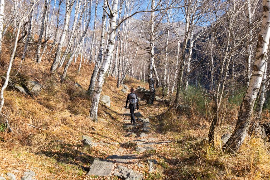 Au début de notre montée, le sentier serpente à travers les bouleaux.
